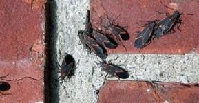 Box Elder Bugs 2